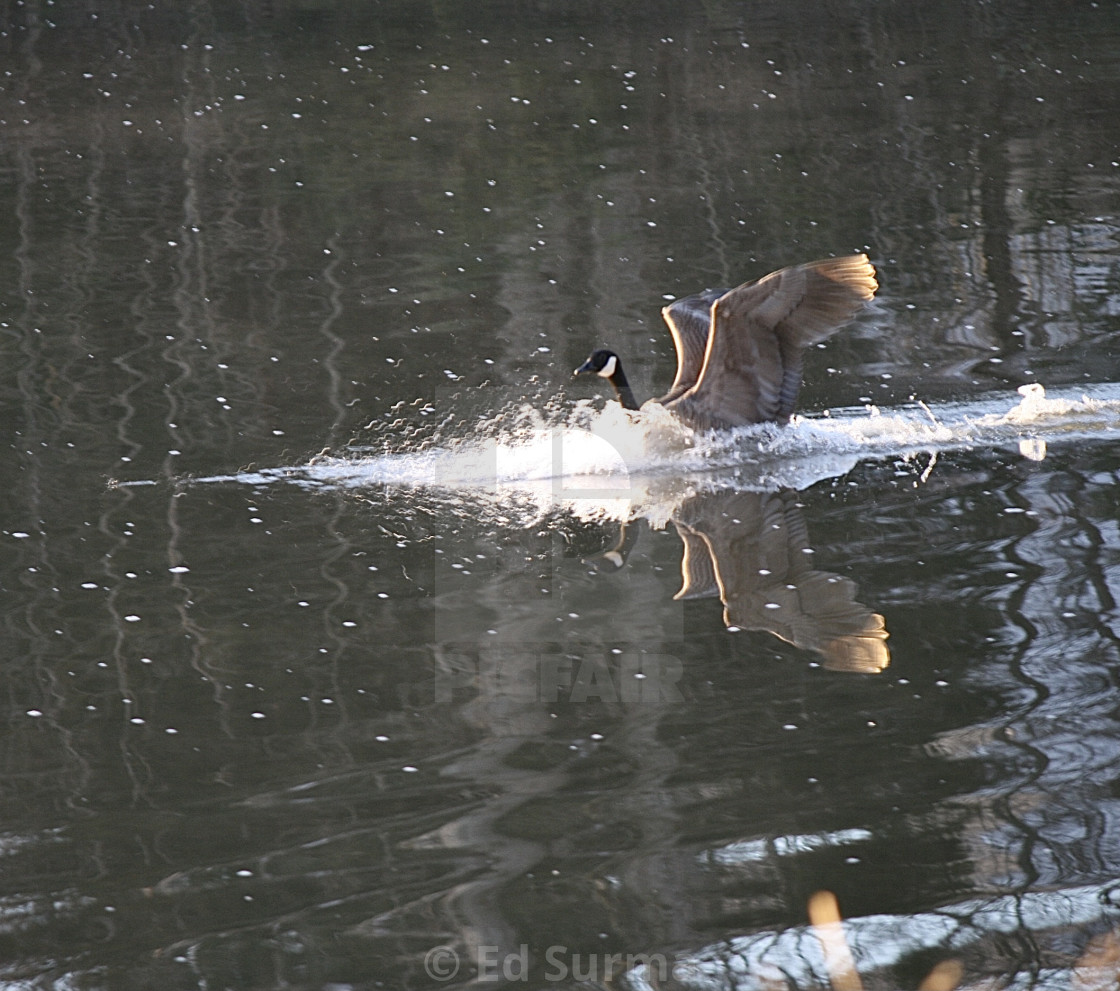 """""""Goose Water Landing"""" stock image"""