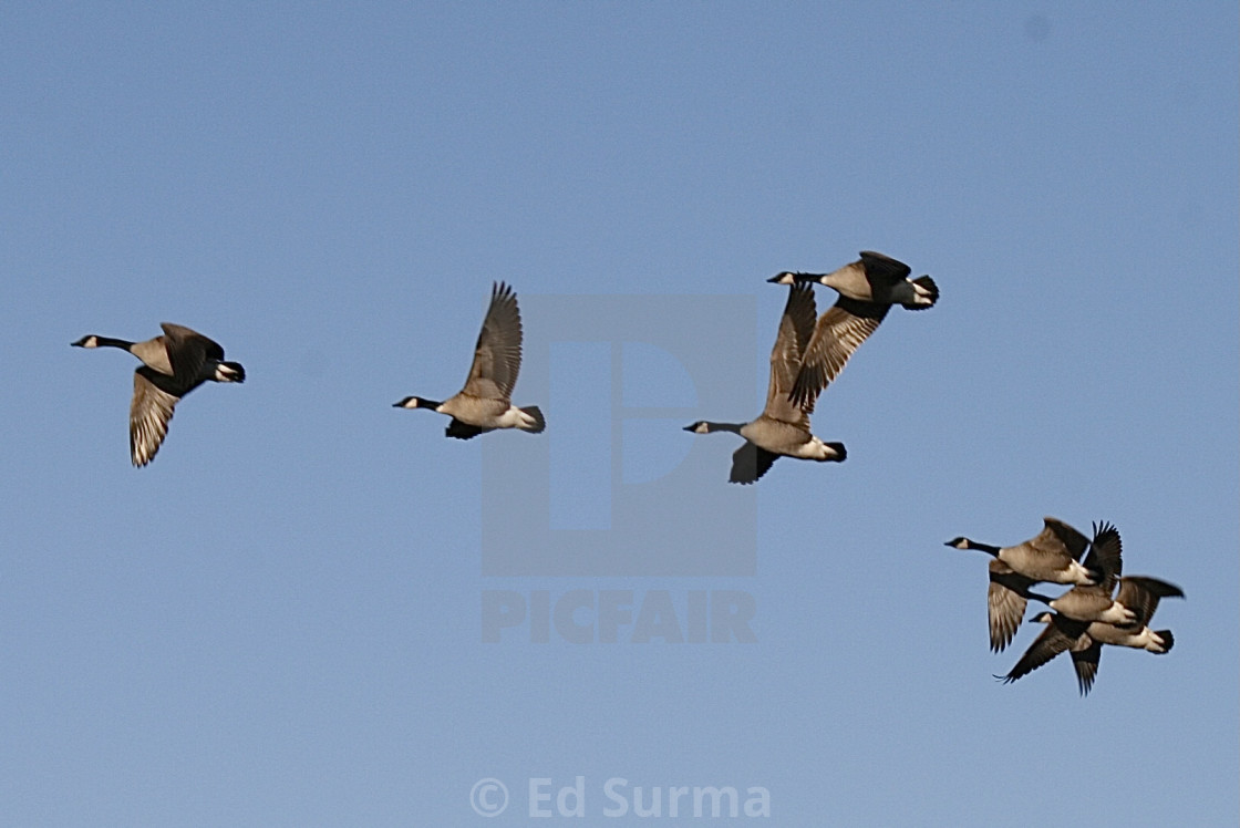 """""""Geese in Flight"""" stock image"""