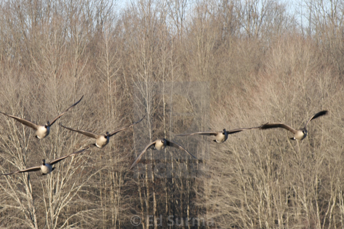 """""""Geese Approach!"""" stock image"""