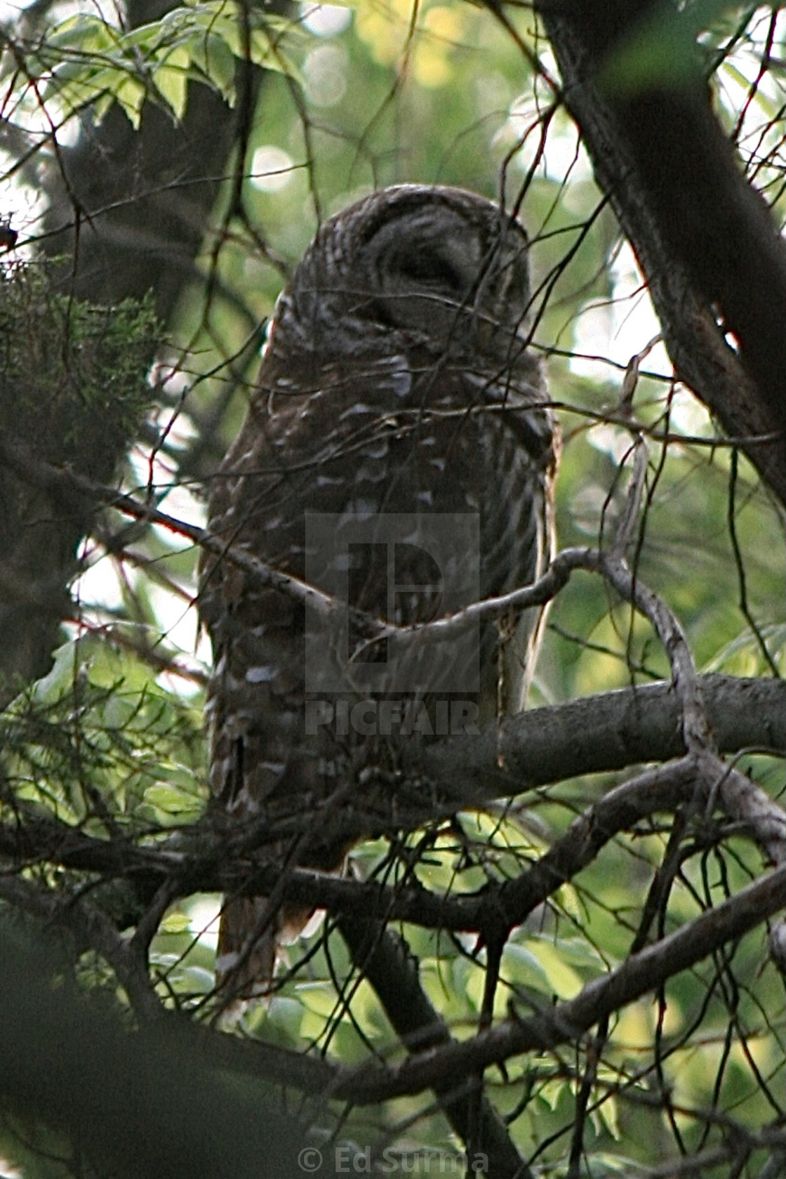 """""""Barred Owl at Rest"""" stock image"""