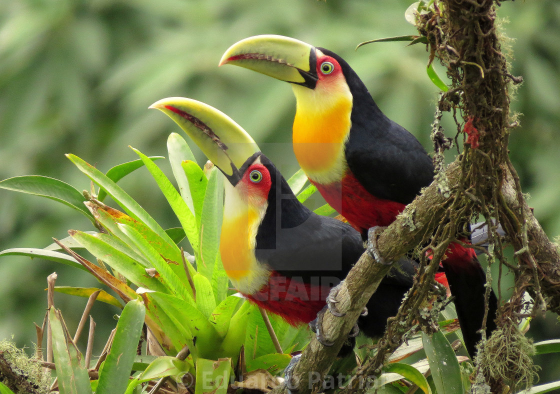 """""""Green-billed Toucan"""" stock image"""