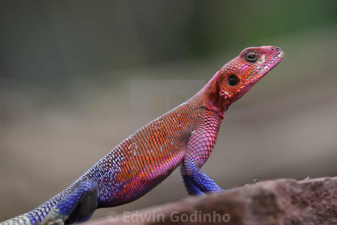 """""""The rainbow or common agama"""" stock image"""