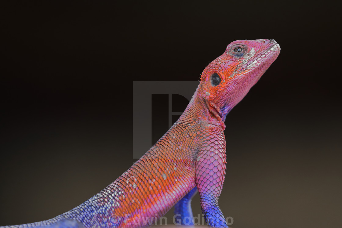 """A red-headed rock agama"" stock image"