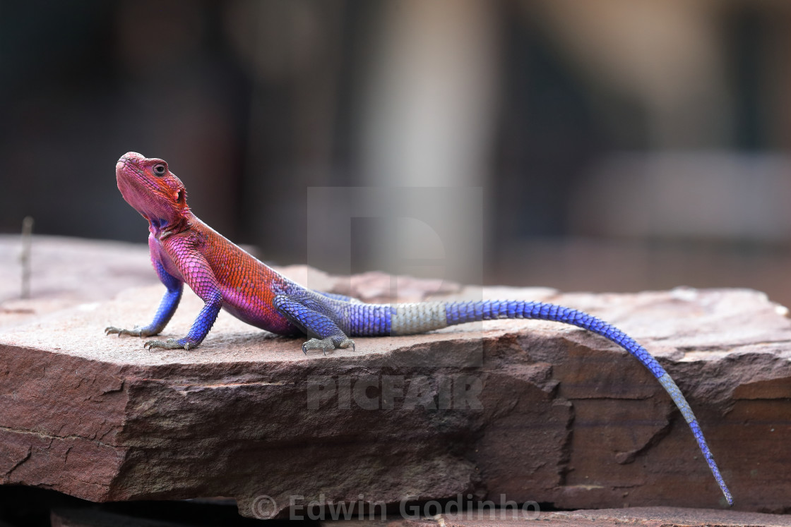 """The common agama"" stock image"