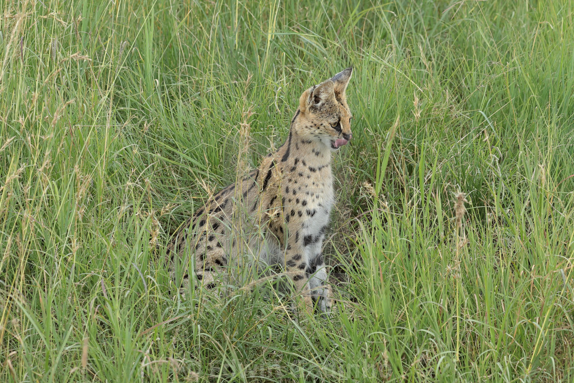 """""""A Serval up close"""" stock image"""
