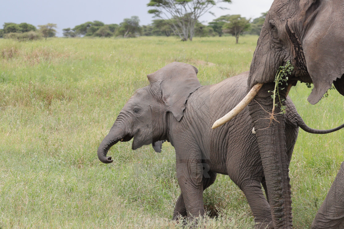 """""""The African bush elephant with a calf"""" stock image"""