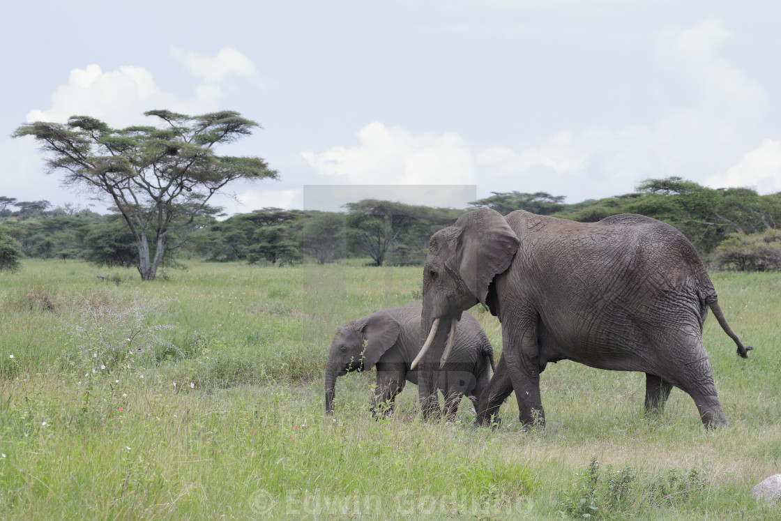 """The African bush elephant with a calf"" stock image"