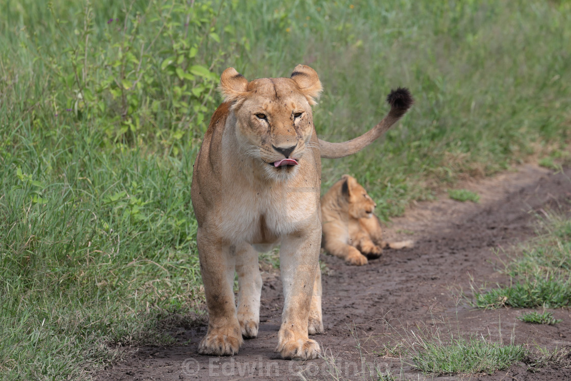 """A Lioness with her cubs"" stock image"