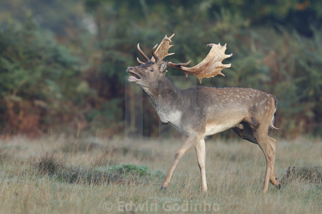 """A Fallow deer grunting"" stock image"