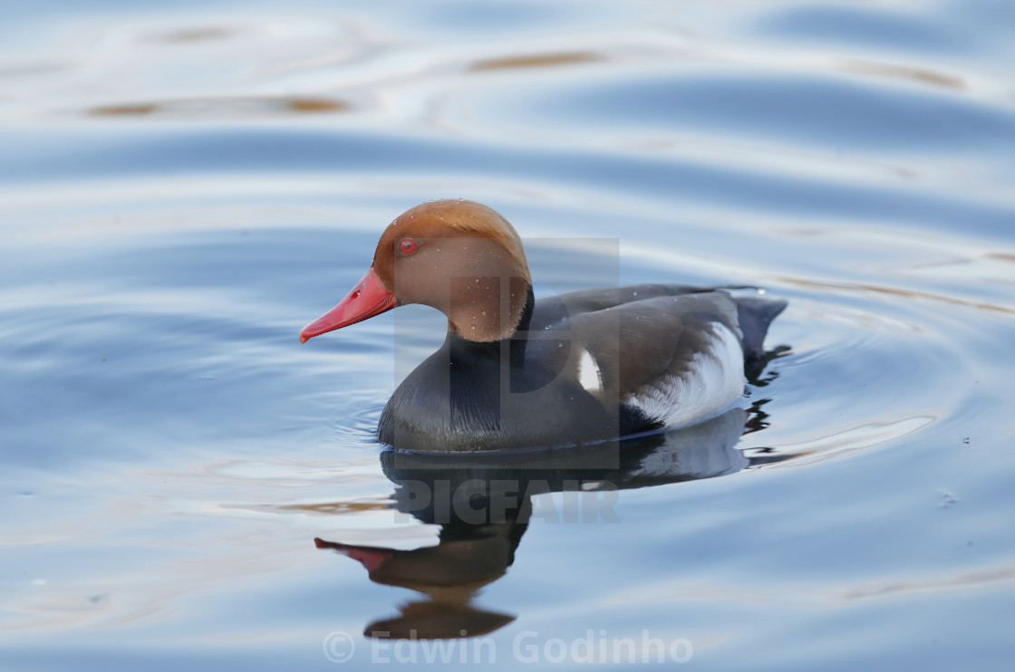 """""""The red-crested pochard"""" stock image"""