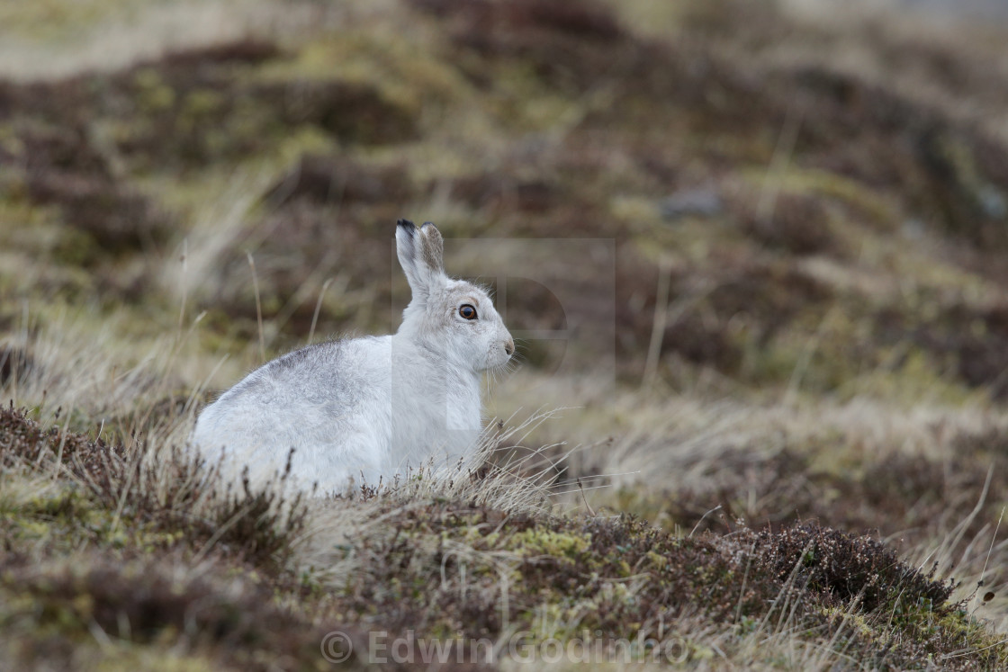 """The mountain hare"" stock image"