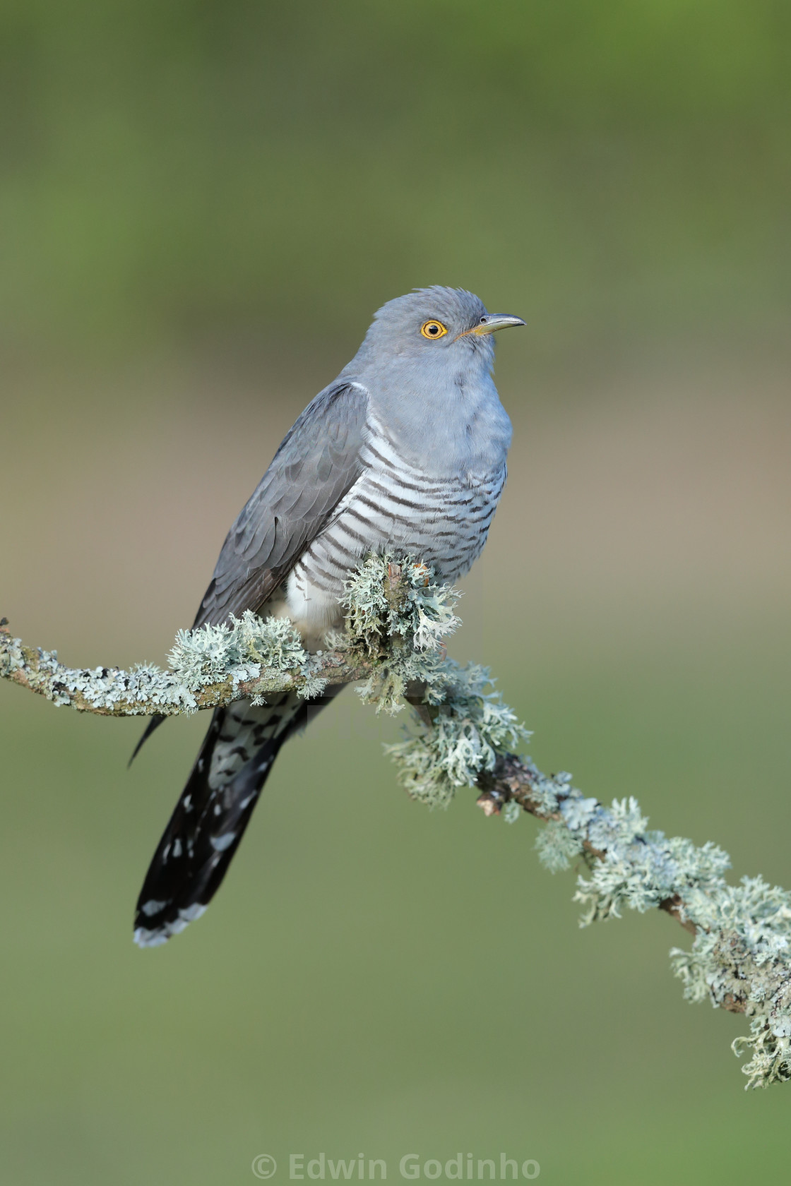 """""""A Common cuckoo perched"""" stock image"""