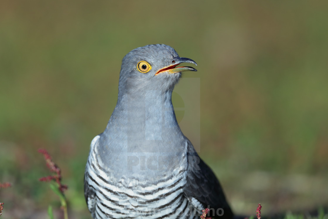 """""""A Common cuckoo on the ground"""" stock image"""