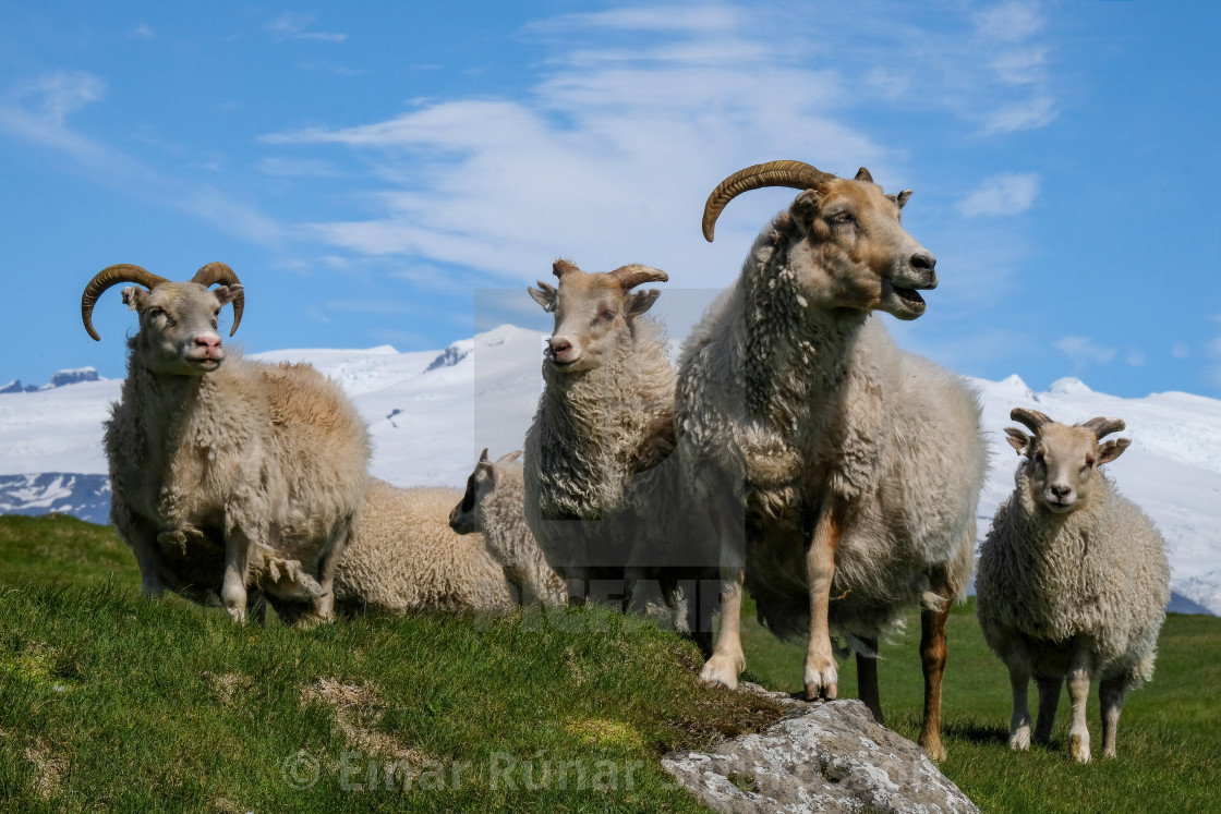 """The Sheep of Ingólfshöfði"" stock image"