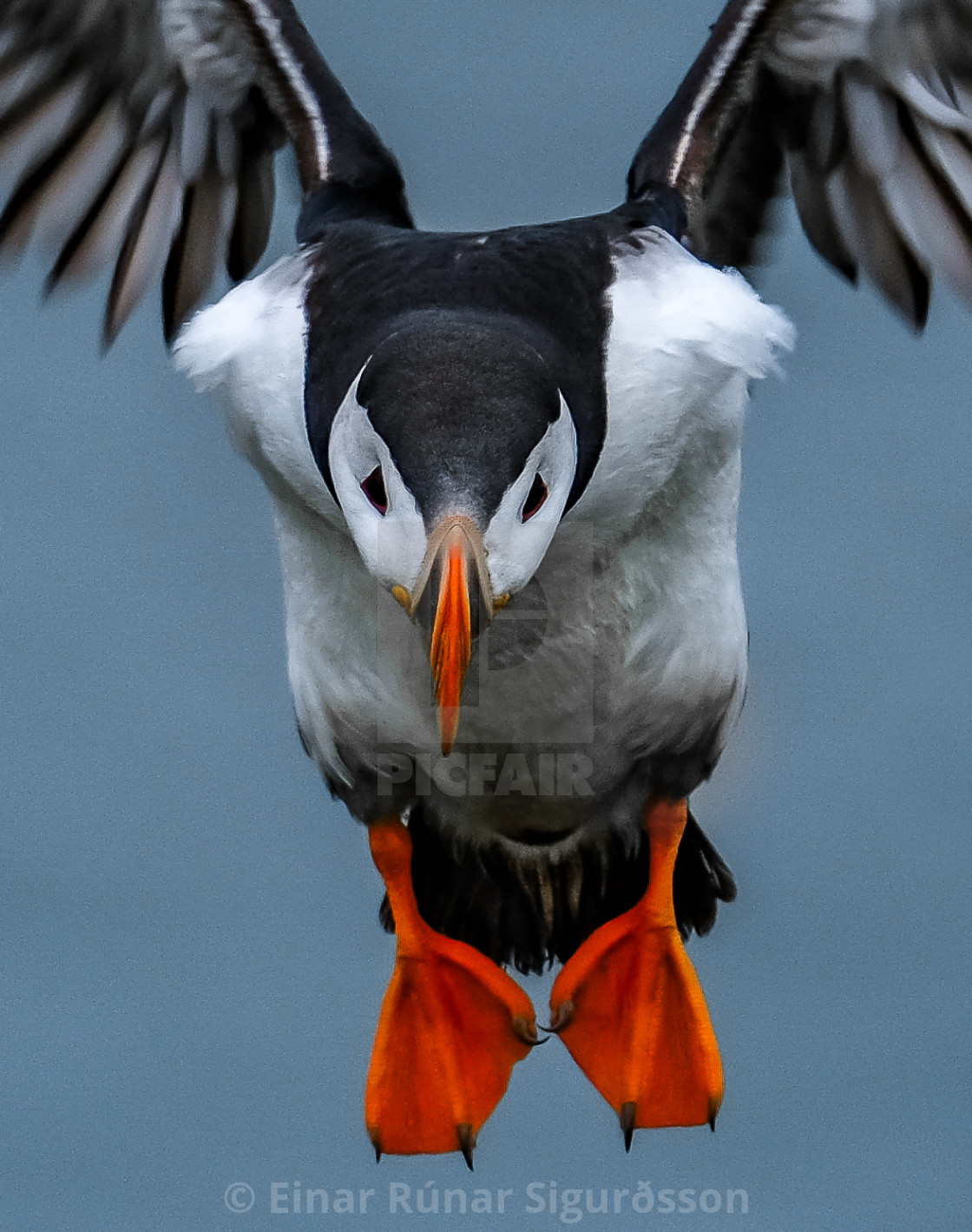 """Puffin Coming In For Landing In Ingolfshofdi Air Space Cropped"" stock image"