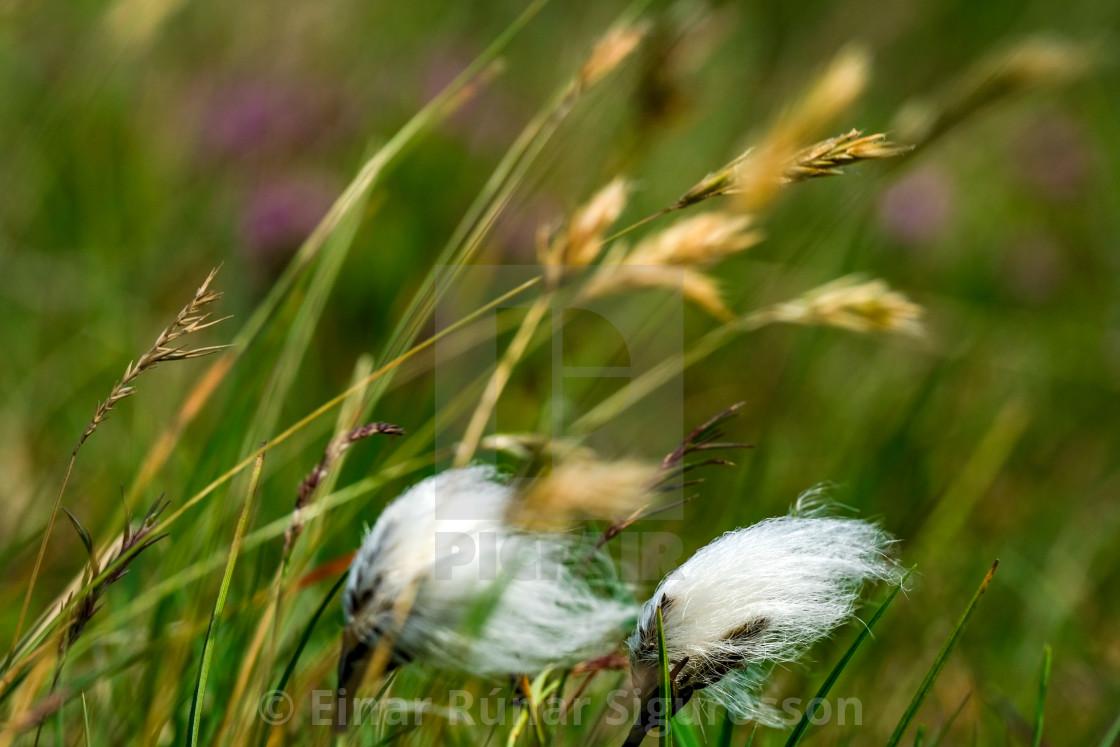 """""""Fífa í vindi með blóðberg í bakgrunni / Cotton Grass in the wind with Thyme making pink bokeh"""" stock image"""