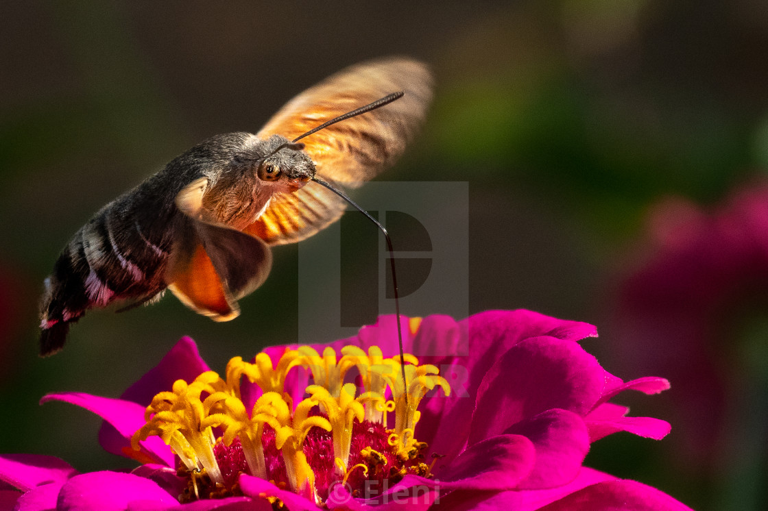 """""""Macroglossum Stellatarum"""" stock image"""