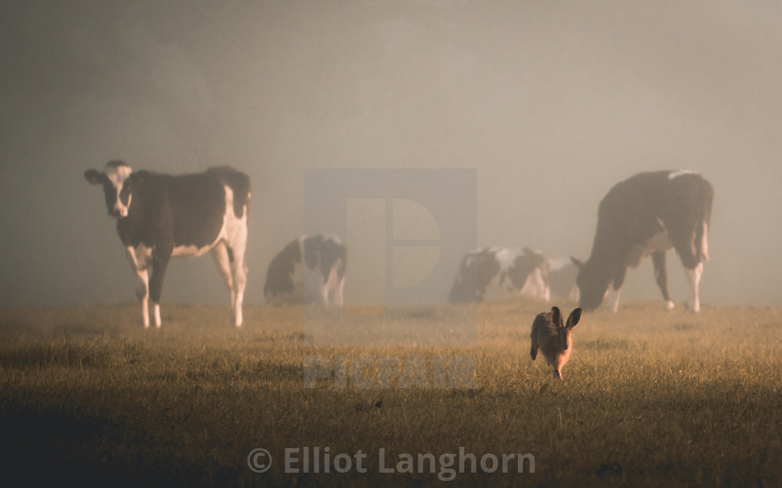 """""""Cow & Hare 3"""" stock image"""