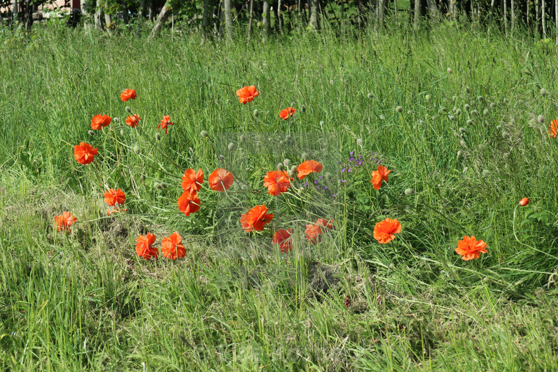 """Orange poppies by the road"" stock image"
