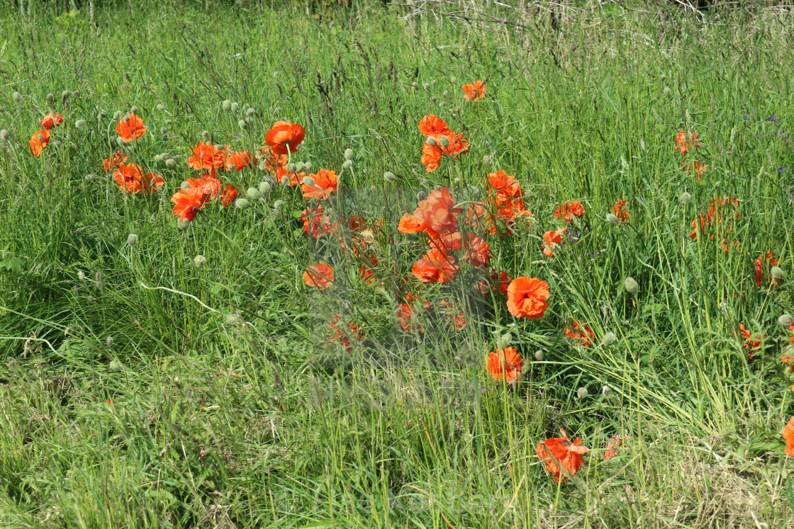 """""""Poppies by the road"""" stock image"""