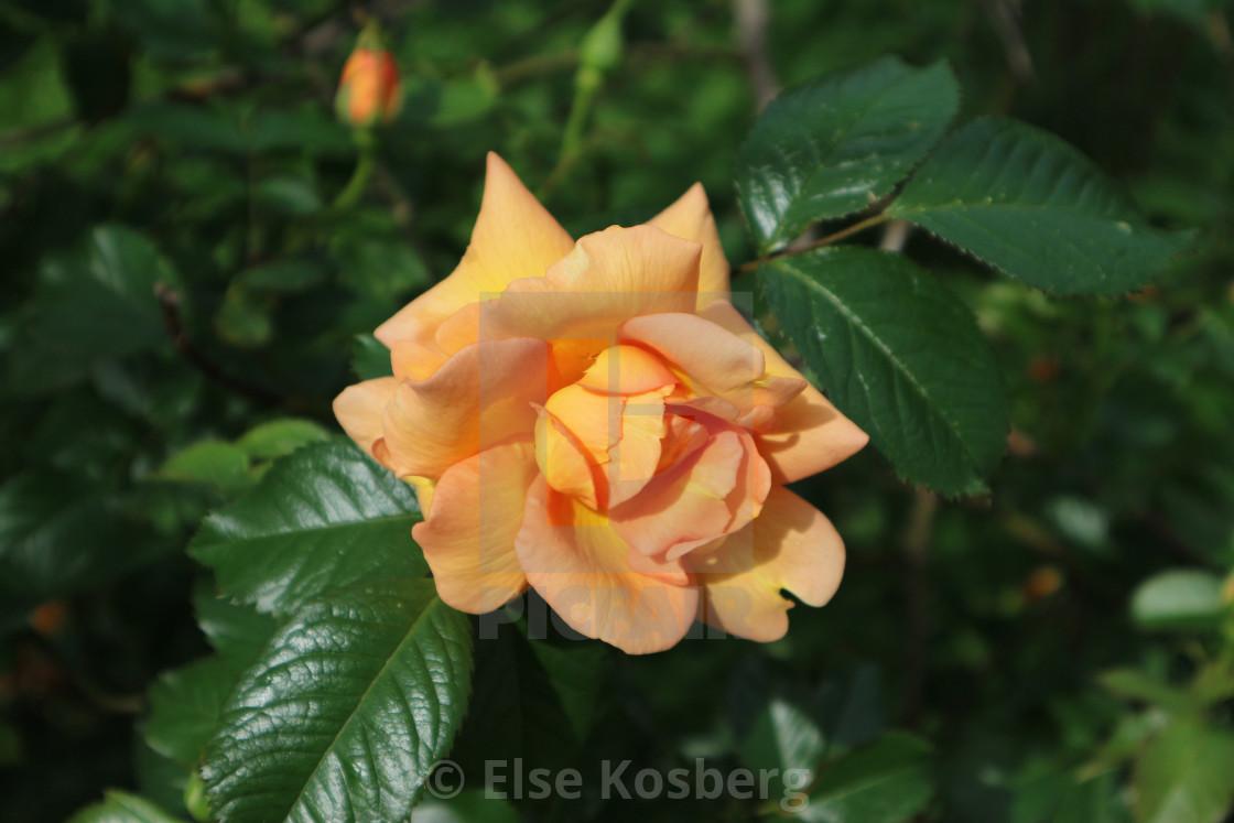 """Orange rose"" stock image"