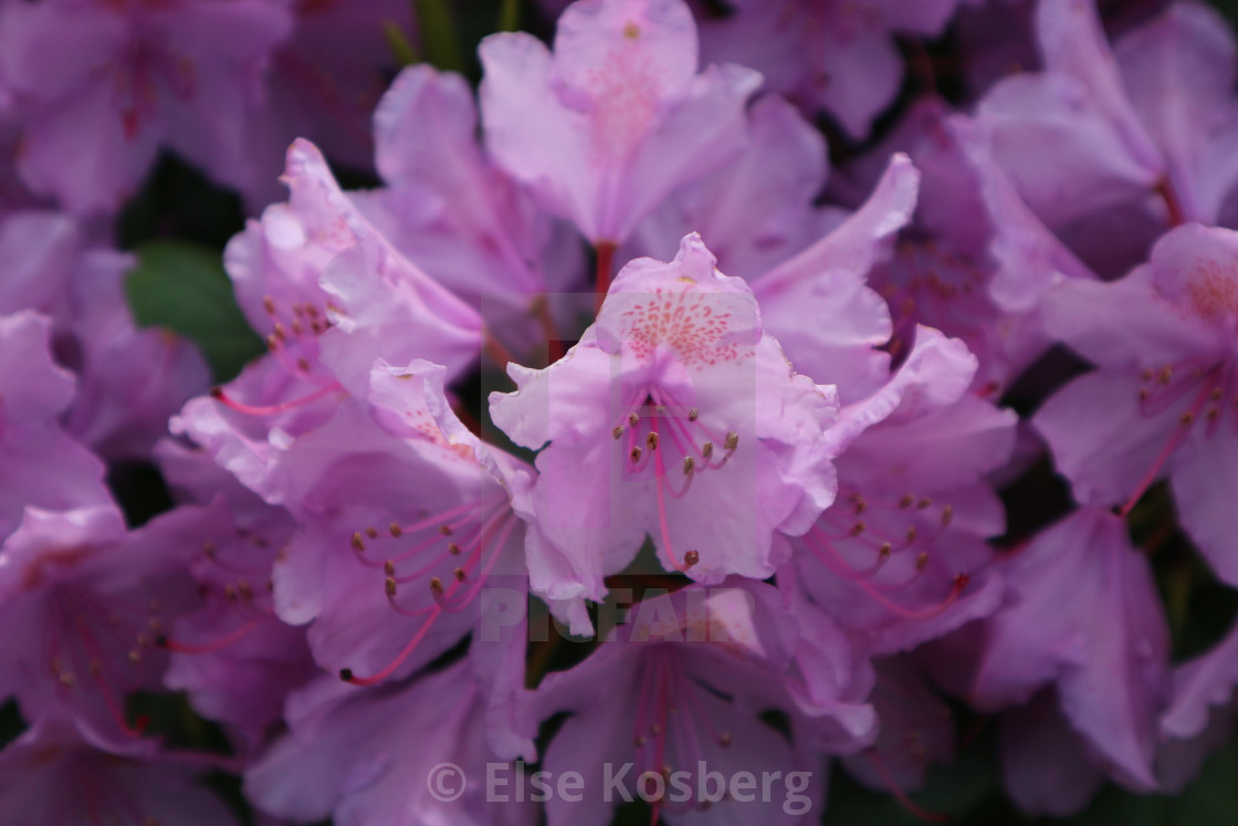 """""""Close-up of purple rhododendron"""" stock image"""