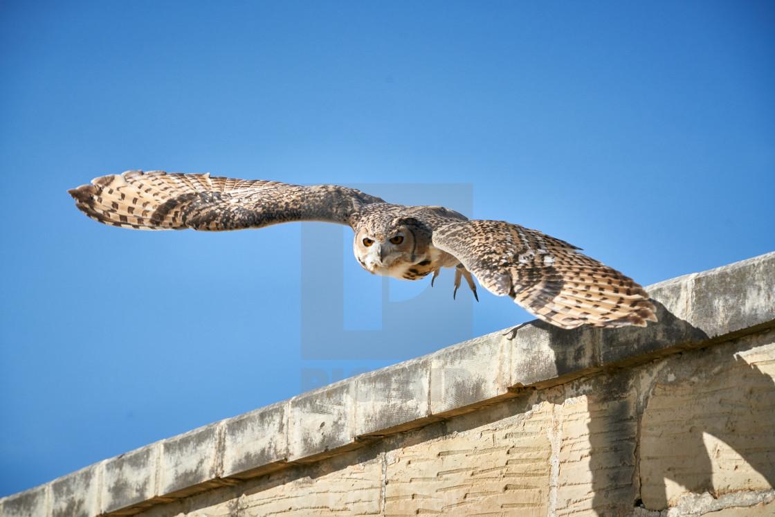 """Pharaoh Eagle-Owl taking flight"" stock image"