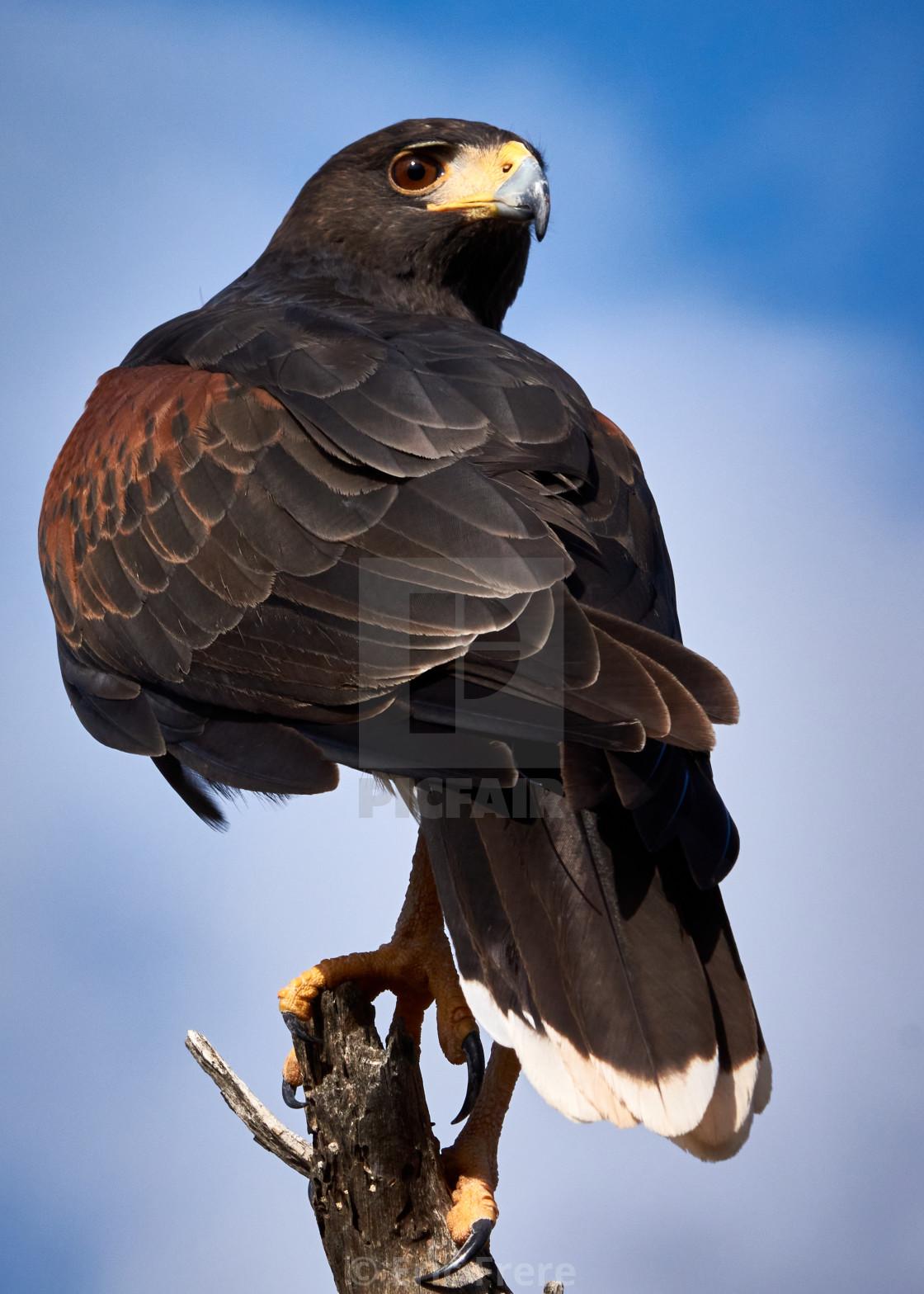 """Harris Hawk"" stock image"