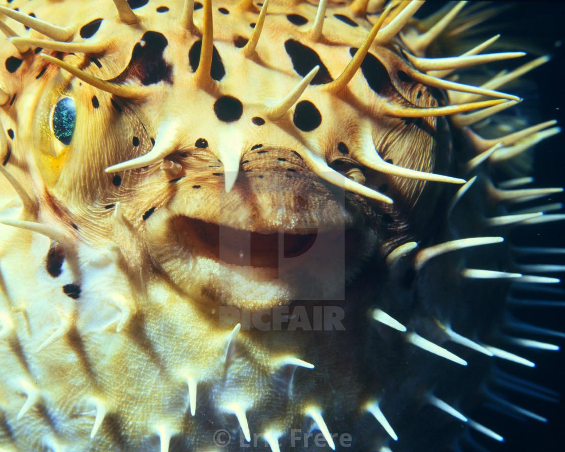 """Balloon Fish"" stock image"