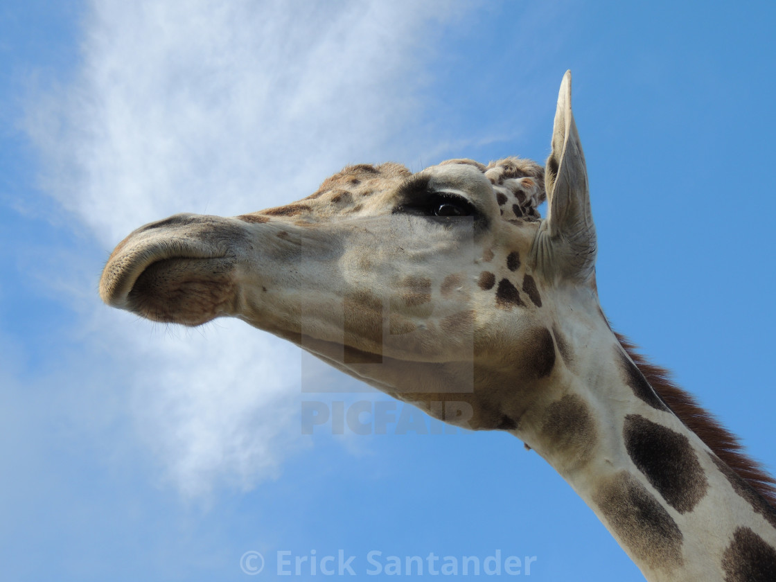 """Side face of Northern giraffe (Giraffa camelopardalis)"" stock image"