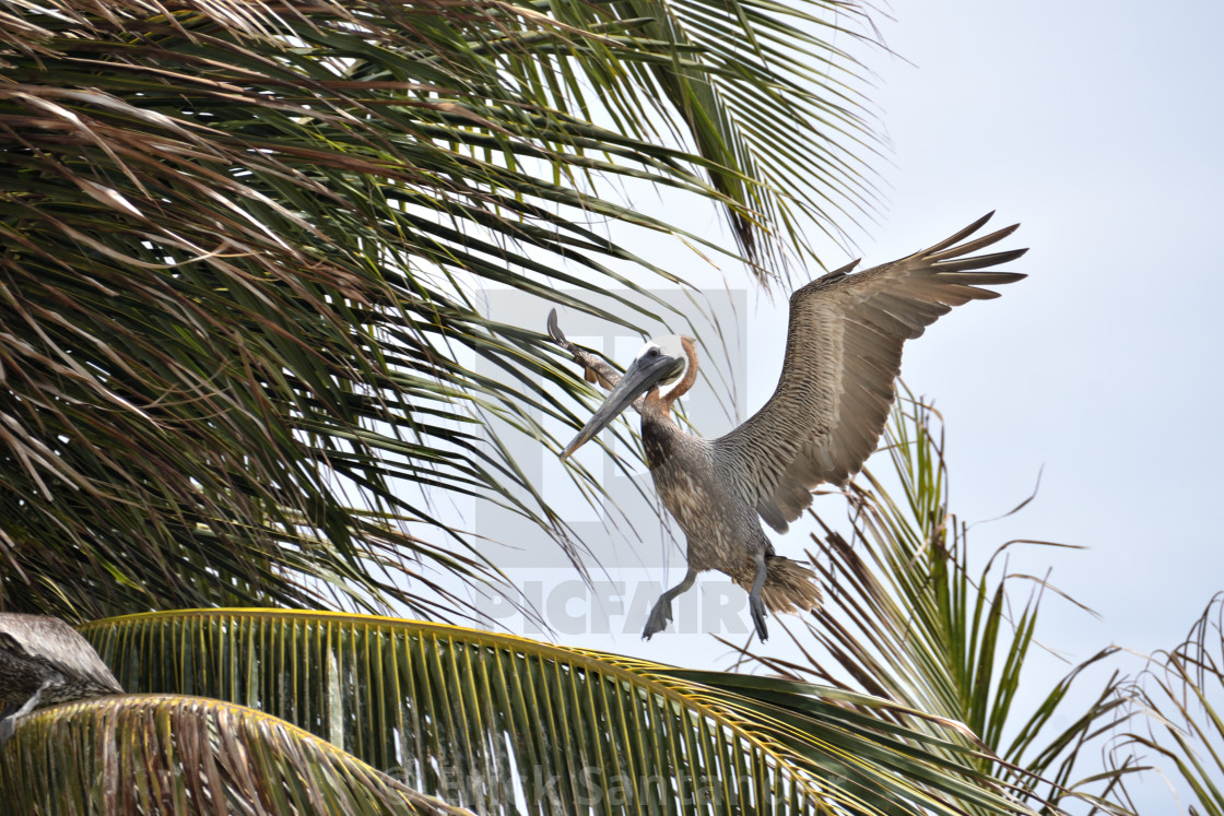 """Pelican resting on palm tree"" stock image"