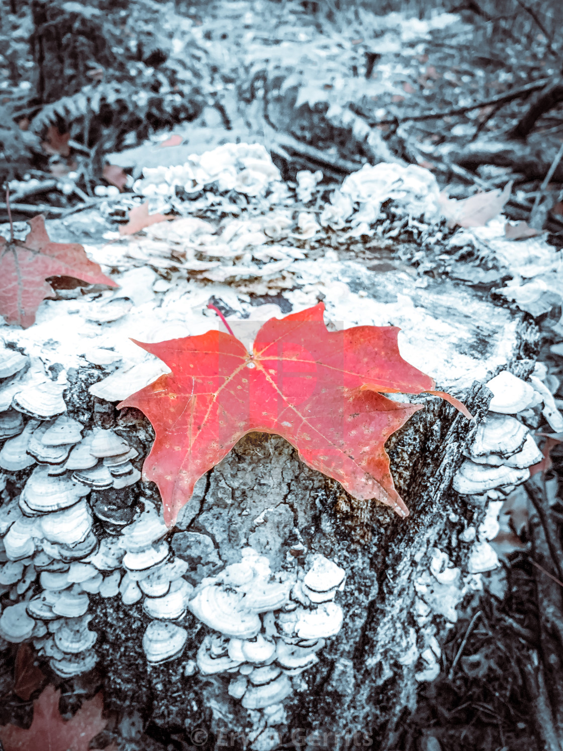 """Maple Leaf"" stock image"