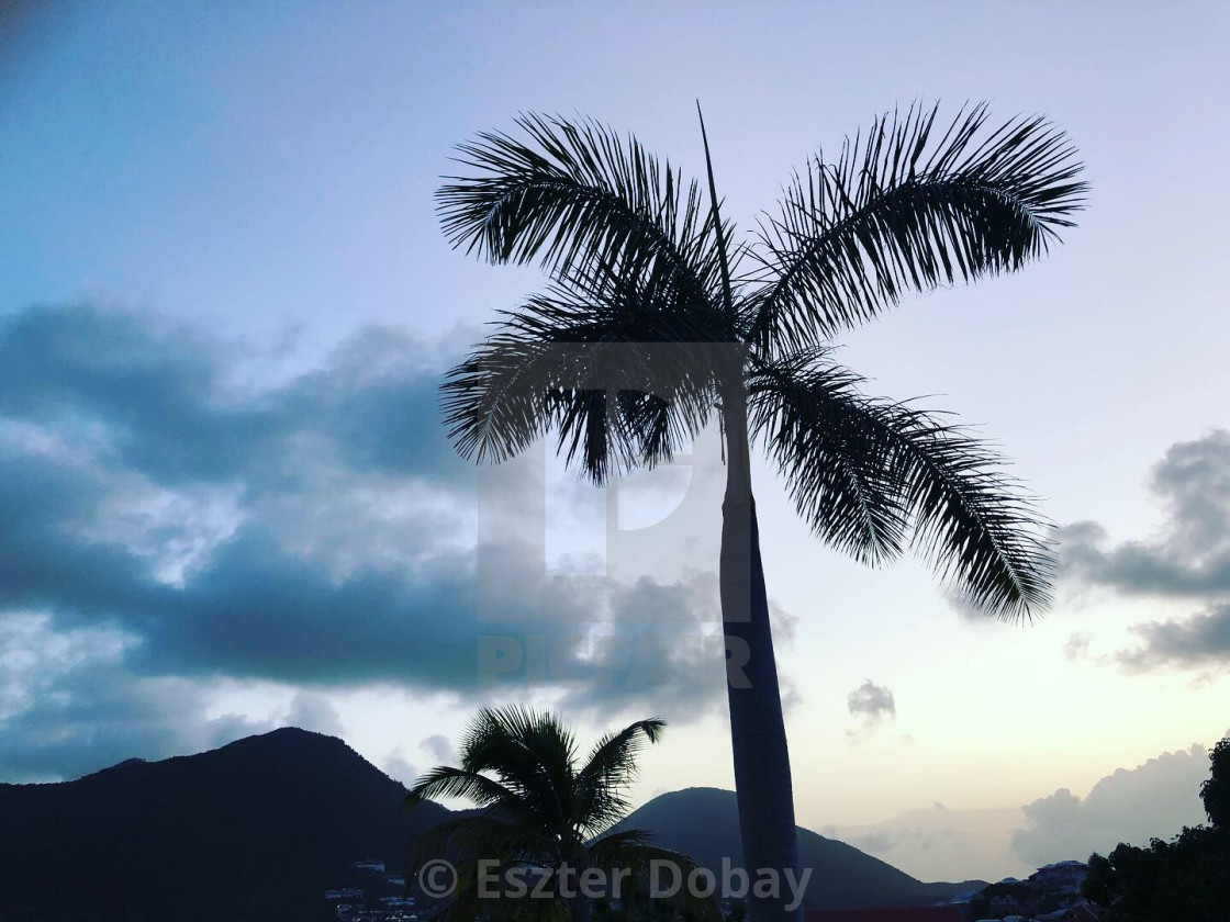 """Palm tree, St. Martin, 2019"" stock image"