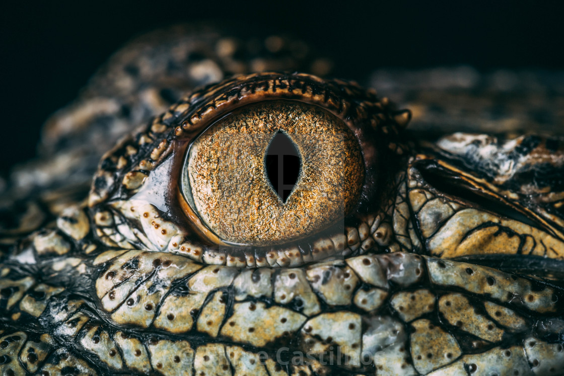 """Saltwater Crocodile up close"" stock image"