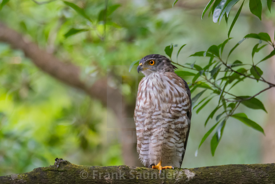 """Crested Goshawk"" stock image"