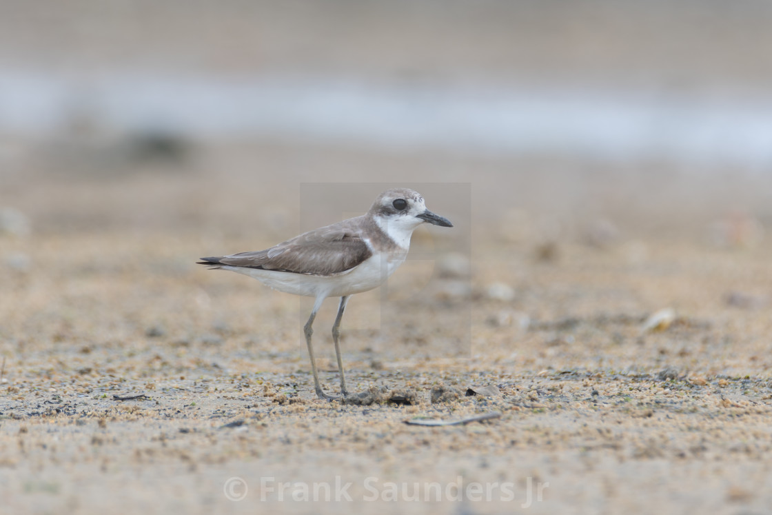 """""""Greater Sand Plover"""" stock image"""