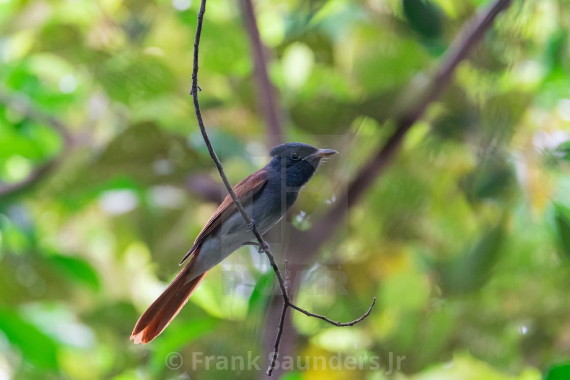 """Amur Paradise Flycatcher"" stock image"