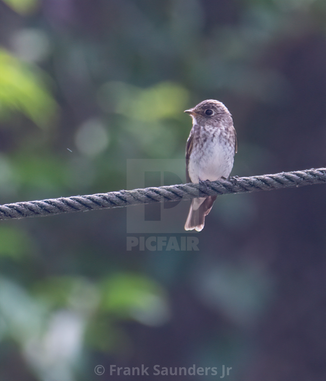 """Dark-sided Flycatcher"" stock image"