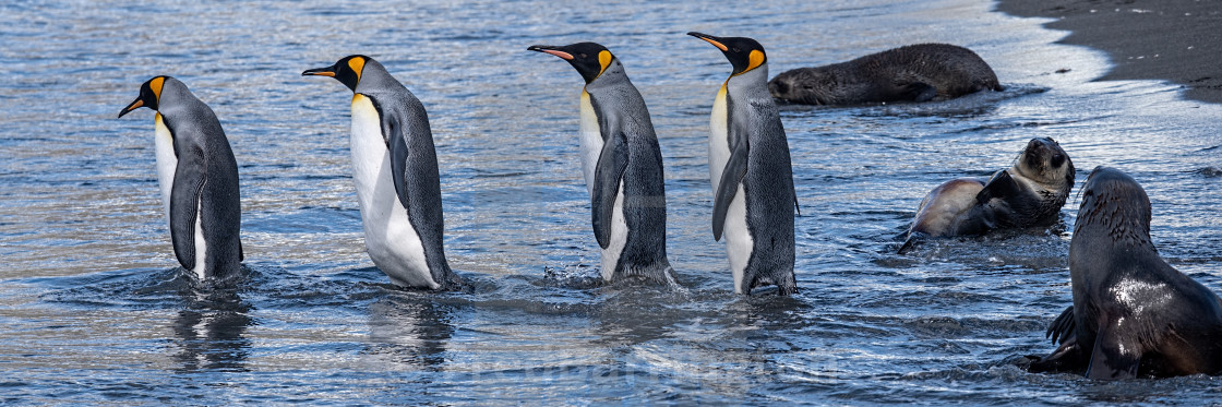 """King Penguins entering the sea"" stock image"