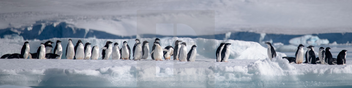 """Adelie penguins lined up on a growler"" stock image"