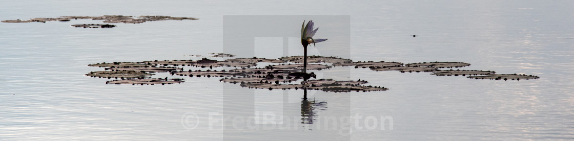 """Water Lily, Neak Poan Temple"" stock image"