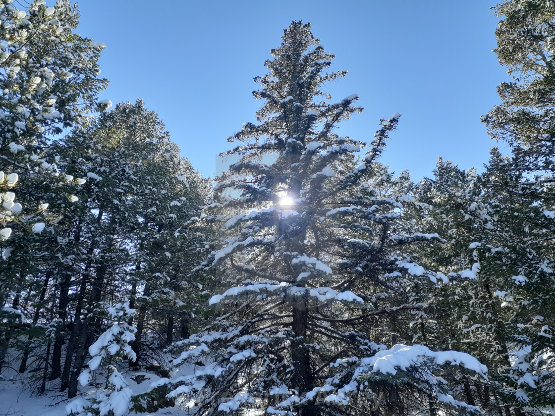 """Evergreen trees after snow storm in Central City Colorado"" stock image"