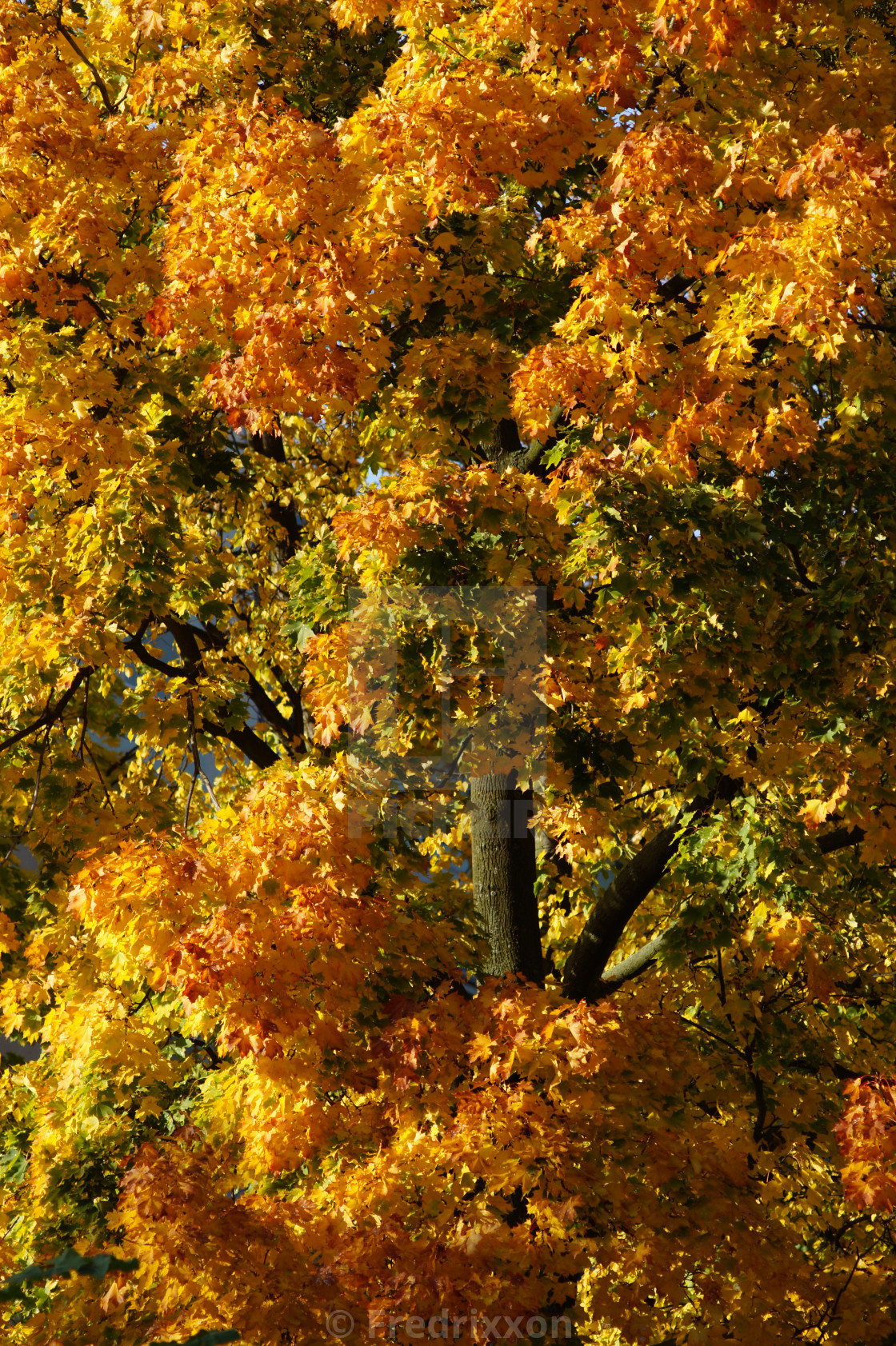 """""""Maple tree with red, yellow, green and orange leaves."""" stock image"""