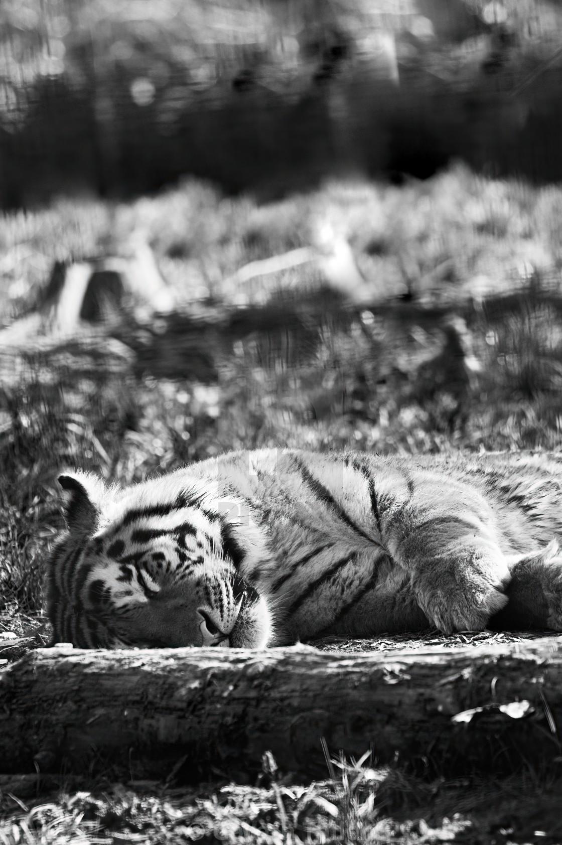 """Sleeping Tiger"" stock image"