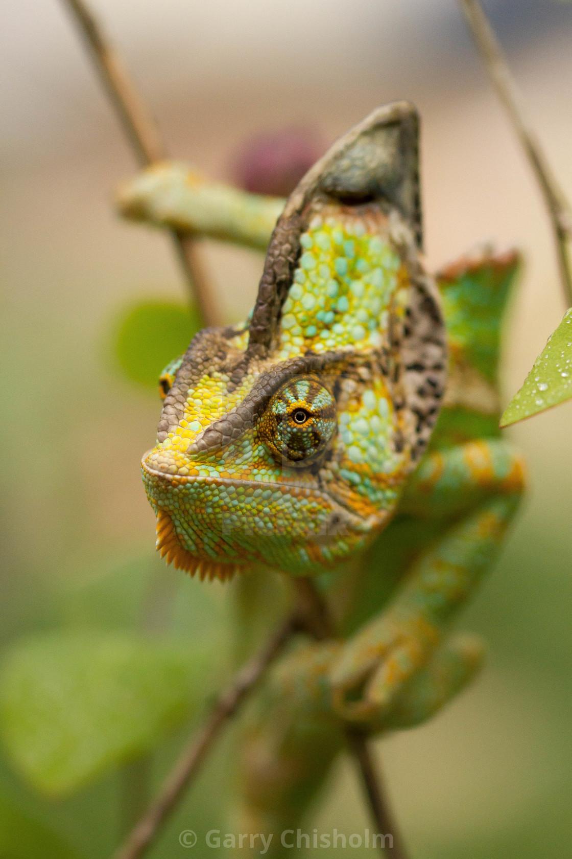 """""""Yemen Chameleon"""" stock image"""
