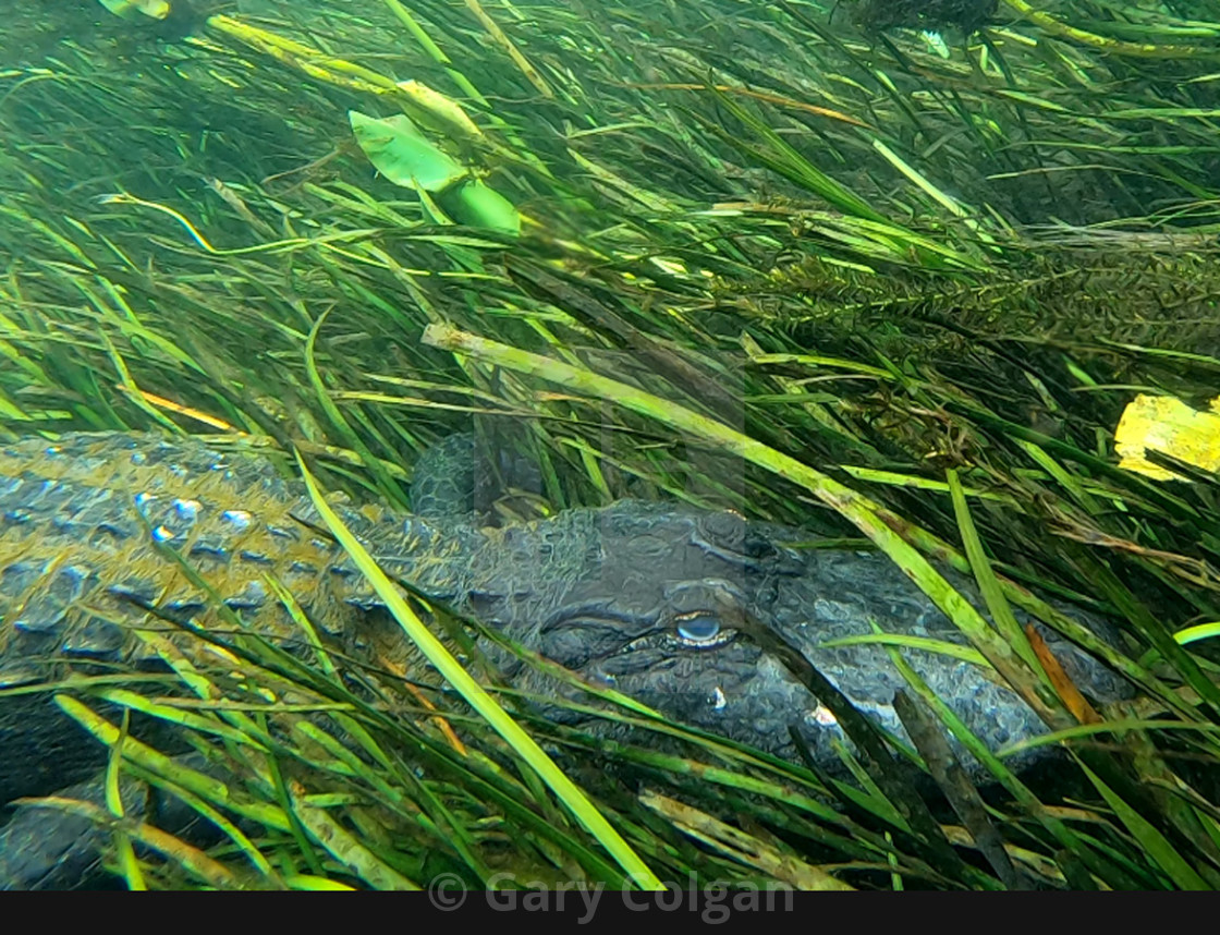 """Gator Under Water"" stock image"