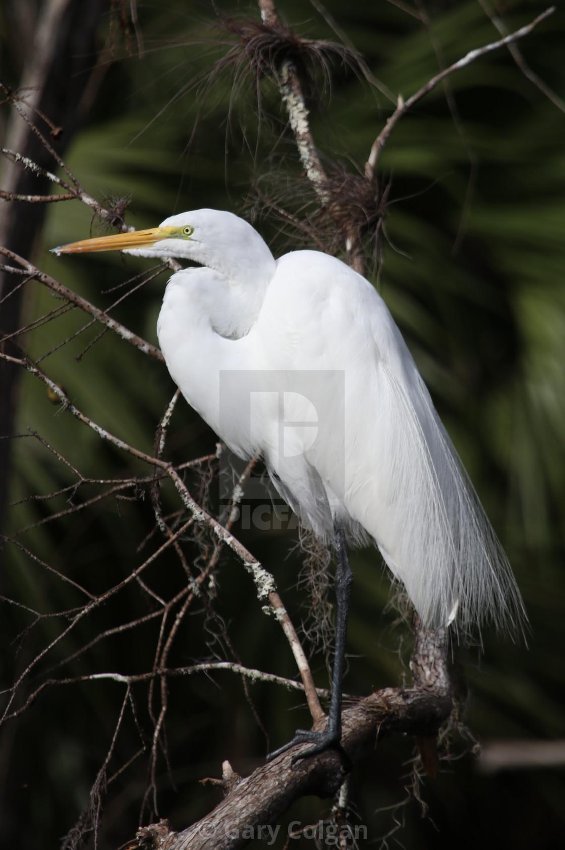 """Great White Egret"" stock image"