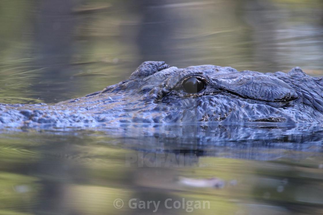 """Alligator"" stock image"