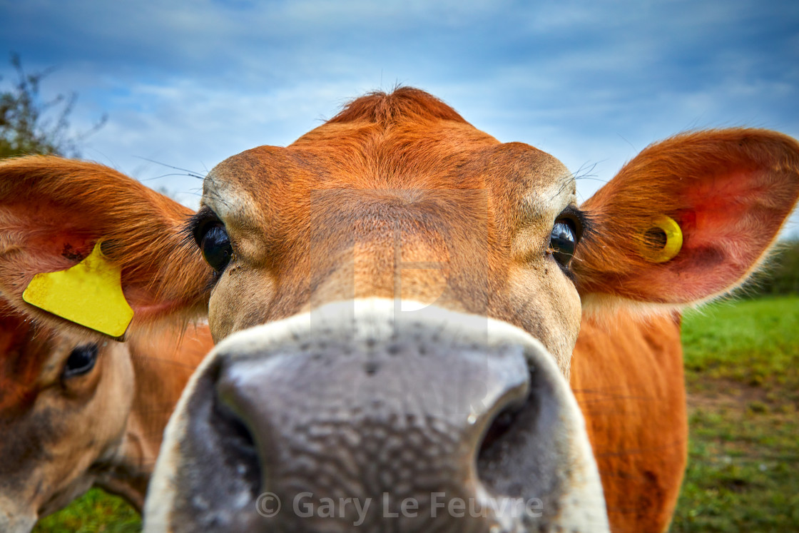 """Jersey Cow Head"" stock image"
