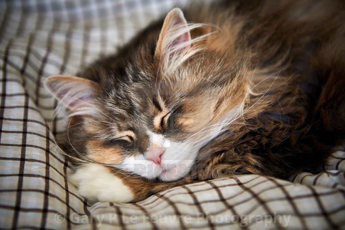 """Norwegian Forest Cat comfortably sleeping"" stock image"